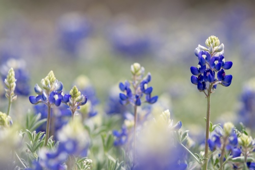 Texas bluebonnets. 2014